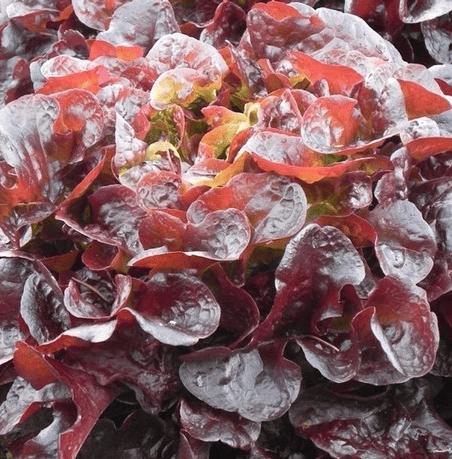 Семена салата Руксай, 5000 семян (драже), Rijk Zwaan
