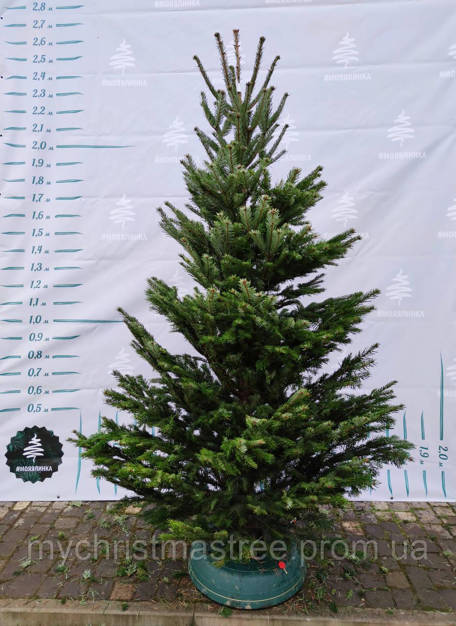 Ялинка Nordmanniana 2.00 - 2.50 м