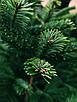 Ялинка Nordmanniana 2.00 - 2.50 м, фото 6