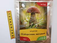 Мицелий грибов Подберезовик обыкновенный.
