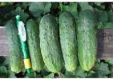 Семена огурцов Роял F1 0,5 кг