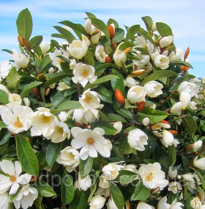 Magnolia Сказочная Белая Фея /Fairy White Blush/2года