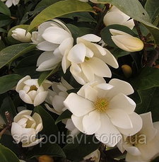 Magnolia Сказочная Белая Фея /Fairy White Blush/2года, фото 3