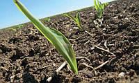 Оптимізація азотного живлення кукурудзи