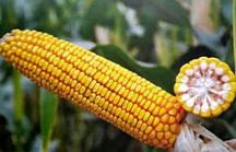 Купити насіння кукурудзи П9486