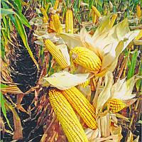 Купити насіння кукурудзи ДС0336