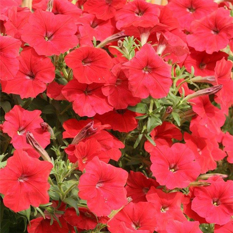 Семена Петуния ампельная крупноцвет Лавина красная F1 20 сем Cerny 5121