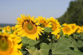 Купить насіння соняшника П63ЛЕ10