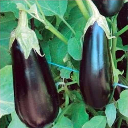 Семена баклажана Шарапова F1, 1000 семян, Rijk Zwaan