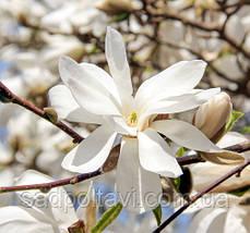 Магнолия ленбера Меррил /Magnolia loebneri 'Merrill' в горшках 5л