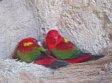 Попугай Желтоспинный лори (Lorius garrulus), фото 2