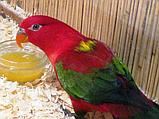 Попугай Желтоспинный лори (Lorius garrulus), фото 3