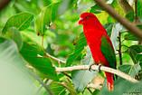 Папуга Желтоспинный лорі (Lorius garrulus), фото 4