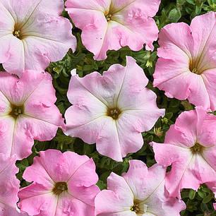 Семена Петуния низкорослая Мистрал Перли F1 20 сем Cerny 5141, фото 2