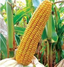 Купити насіння кукурудзи П8723