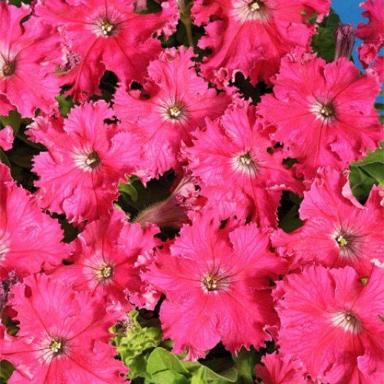 Семена Петуния бахромчатая низкорослая Афродита F1 розовая 10 сем Cerny 5146