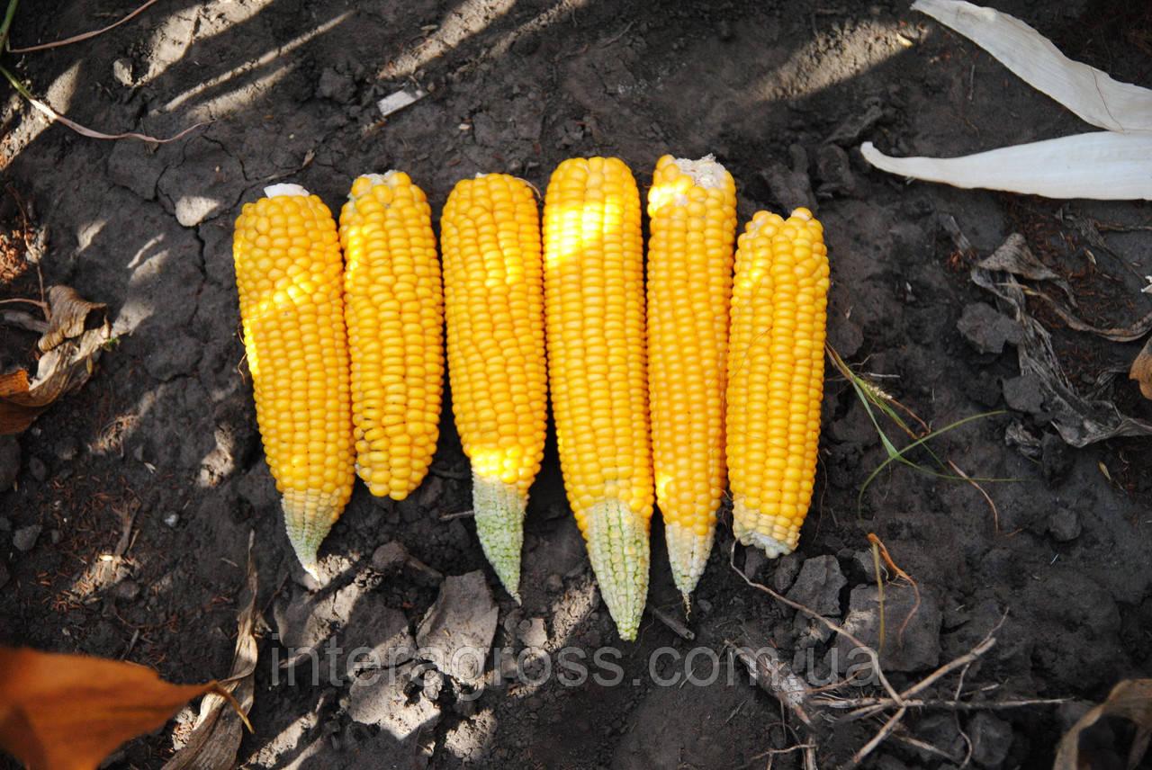 Купить семена кукурузы ДКС 3972