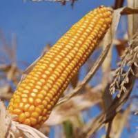 Купить семена кукурузы ДКС 4178