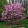 Магнолия лилиецветная Нигра, фото 2