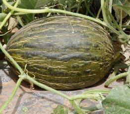 Новый гибрид дыни Бравура F1,семена профупаковка крупной фасовки 1000 семян, Семена rijk zwaan Голландия