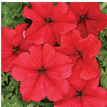 Насіння Петунія крупноквіткова насичено-червона 50 сем W. Legutko 5152