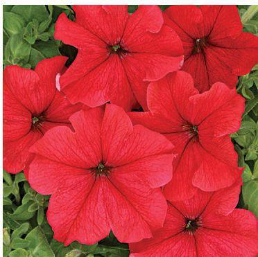 Насіння Петунія крупноквіткова насичено-червона 50 сем W. Legutko 5152, фото 2