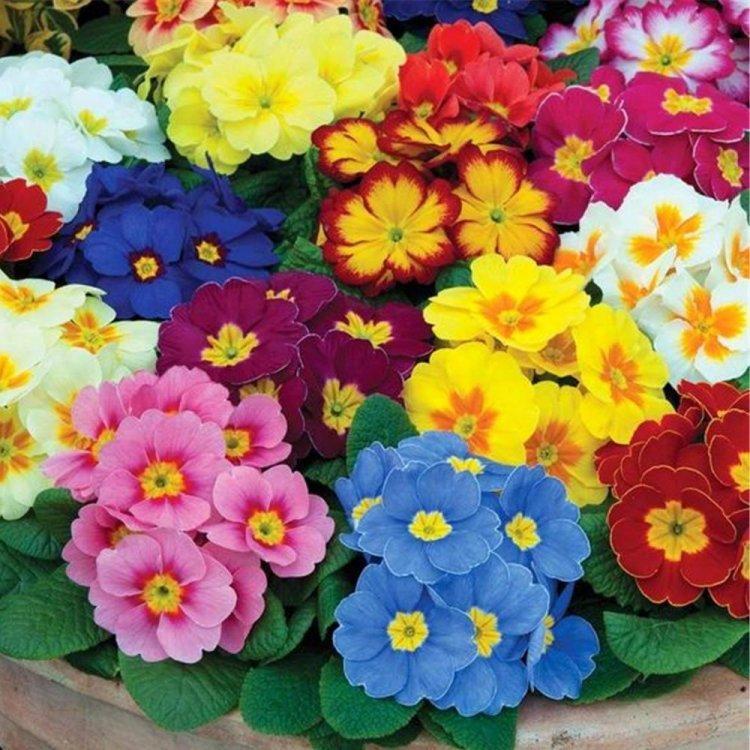 Семена Примула Белиссимо 50 сем W.Legutko 5160