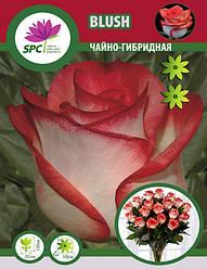 Роза чайно-гибридная Blush