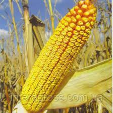 Купить Семена кукурузы МТ Матадо