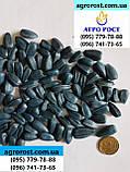 Подсолнечник ФОРВАРД, Высокоурожайный, Масличный, Стандарт Фракция 2,6-2,8., фото 3