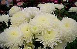 Хризантема крупноквіткова срезочная біла Газель, фото 3