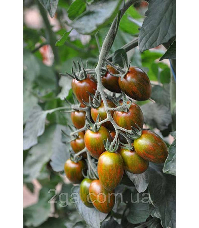 Криспина Плюм F1 / Crispina Plum F1 - Томат черри, Esasem. 250 семян