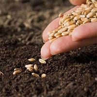 Семена озимной пшеницы
