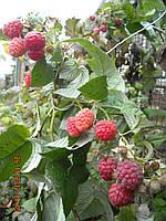 Саженцы малины поздней Ковичан