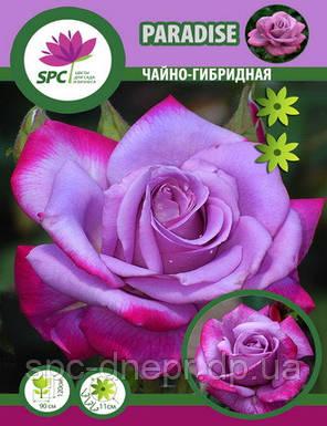 Роза чайно-гибридная Paradise, фото 2