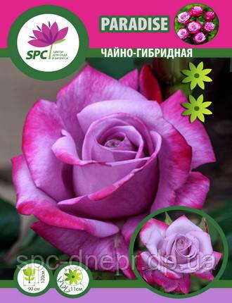 Роза чайно-гибридная Paradise