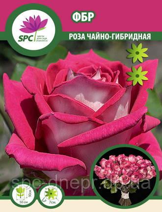 Роза чайно-гибридная ФБР, фото 2