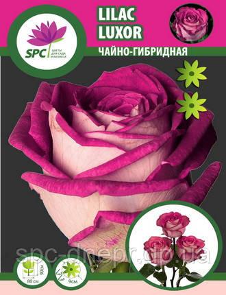 Роза чайно-гибридная Lilac Luxor (один пагон), фото 2