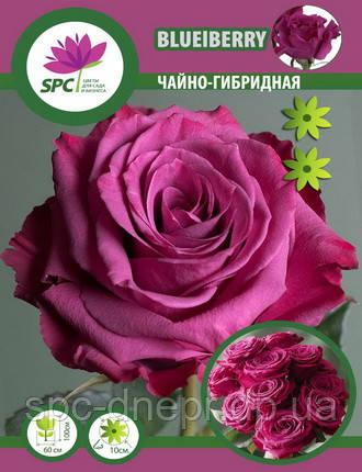Роза чайно-гибридная Blueberry
