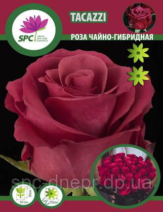 Роза чайно-гибридная Taccazi
