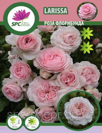 Роза флорибунда Larissa, фото 2