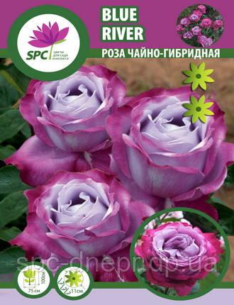 Роза чайно-гибридная Blue River