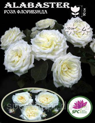 Роза флорибунда Alabaster, фото 2