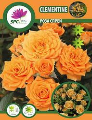 Саженцы розы бордюрной, спрей Clementine