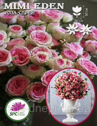 Бордюрные саженцы роз, спрей Mimi Eden