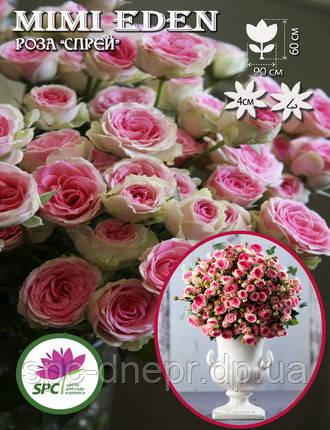 Бордюрные саженцы роз, спрей Mimi Eden, фото 2