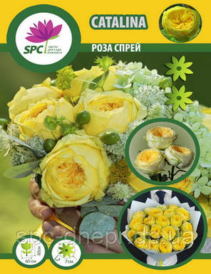 Бордюрные саженцы роз, спрей Catalina, фото 2