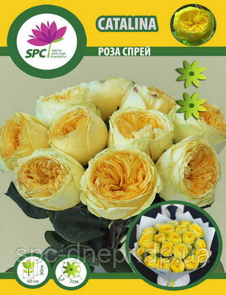 Бордюрные саженцы роз, спрей Catalina