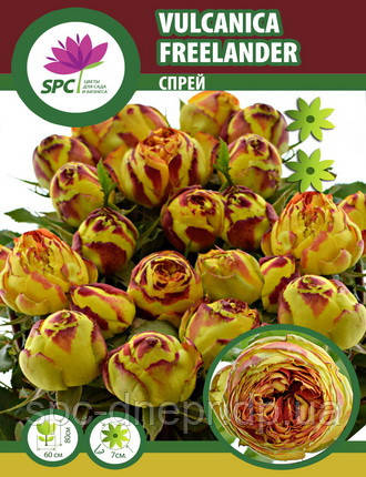 Бордюрные саженцы роз, спрей Vucanica Freelander