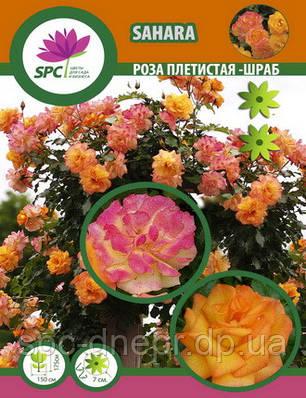 Роза плетистая(шраб) Sahara (один пагон), фото 2